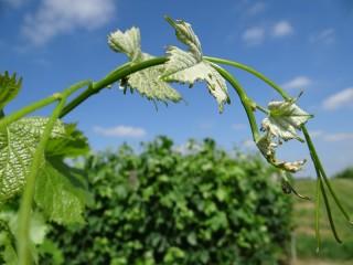 Quelques feuilles de vignes sur une tige