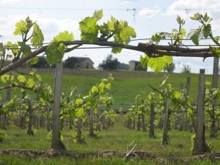 Conduite de la vigne avec des jeunes pousses qui se développent