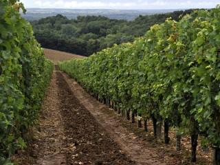 Deux rangs de vignes