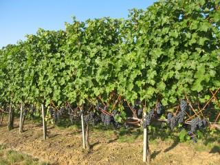 Parcelle effueillée du vignoble Château Naudy