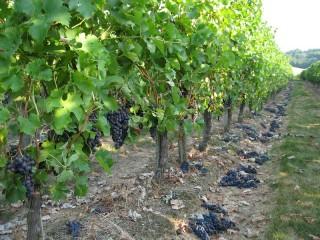Rangée de vignes, avec des grappes de raisin à terre