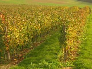 Paysage du vignoble ensoleillé