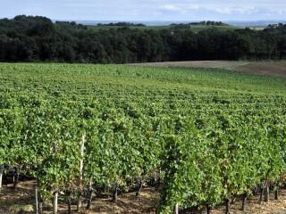 Paysage du vignoble en été