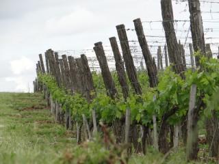 Plusieurs pieds de vignes avec quelques feuilles au printemps