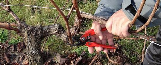 Tailler la vigne pour repartir du bon pied