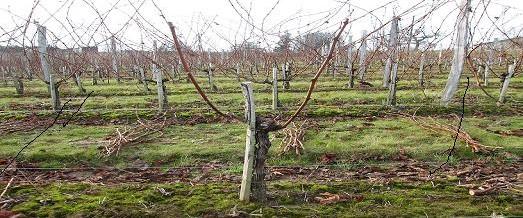 Travaux d'hiver du vignoble