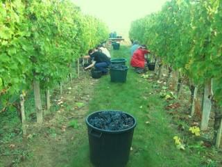 Vendangeurs dans une allée du vignoble et un seau empli de raisin.
