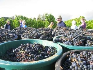 Plusieurs seaux remplis de raisin et au second plan plusieurs vendangeurs.
